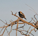 Bobolink on a tree branch