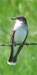 Eastern Kingbird sitting on a fence wire